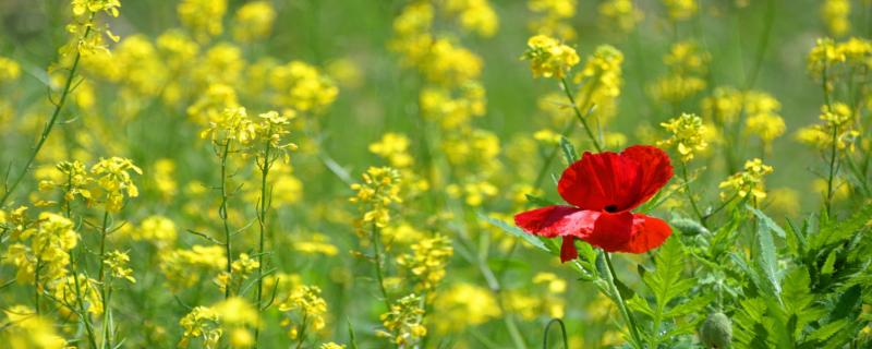 Die Entscheidung, außergewöhnlich zu sein - rote Mohnblume in einem gelben Blütenmeer