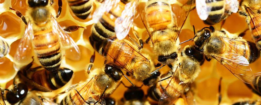 Bienen auf Honigwaben herumkrabbelnd